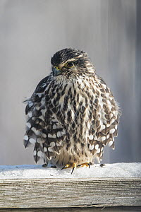 Merlin (Falco columbarius) in winter with feathers fluffed up for warmth, Nova Scotia, Canada  -  Scott Leslie