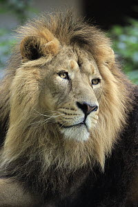 Asiatic Lion (Panthera leo persica) male, native to Asia  -  Juergen & Christine Sohns