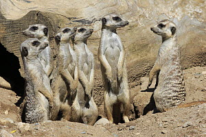 Meerkat (Suricata suricatta) group on alert, Basel, Switzerland  -  Juergen & Christine Sohns