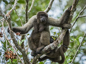 Geoffroy's Woolly Monkey (Lagothrix cana) mother with young, Amazon, Brazil  -  Konrad Wothe