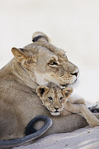 African Lion (Panthera leo) mother and cub, Kgalagadi Transfrontier Park, South Africa  -  Richard Du Toit