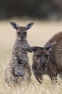 Western Grey Kangaroo (Macropus fuliginosus) nine-month-old joey with mother, Kangaroo Island, Australia  -  Suzi Eszterhas