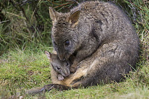 Red-bellied Pademelon (Thylogale billardierii) mother with five-month-old joey, Cradle Mountain-Lake Saint Clair National Park, Tasmania, Australia  -  Suzi Eszterhas