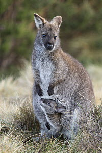 Red-necked Wallaby (Macropus rufogriseus) mother with seven-month-old joey in pouch, Cradle Mountain-Lake Saint Clair National Park, Tasmania, Australia  -  Suzi Eszterhas