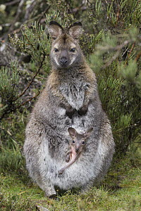 Red-necked Wallaby (Macropus rufogriseus) mother with five-month-old joey in pouch, Cradle Mountain-Lake Saint Clair National Park, Tasmania, Australia  -  Suzi Eszterhas