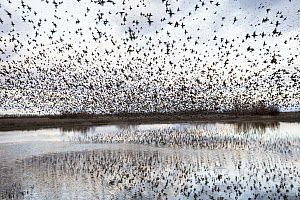 Spotless Starling (Sturnus unicolor) flock flying over wetland, Castile-La Mancha, Spain  -  Oscar Diez/ BIA