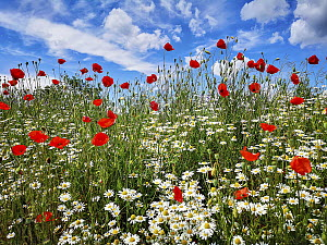 Red Poppy (Papaver rhoeas) and Marguerite (Leucanthemum vulgare) flowers in field in summer, Baden-Wurttemberg, Germany  -  Martin Grimm/ BIA