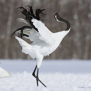 Red-crowned Crane (Grus japonensis) displaying, Hokkaido, Japan  -  Mario Mueller/ BIA