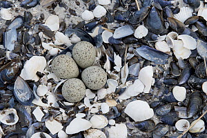 Little Ringed Plover (Charadrius dubius) nest with eggs, Mecklenburg-Vorpommern, Germany  -  Thomas Harbig/ BIA