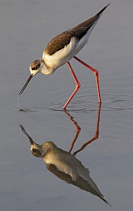 Black-winged Stilt (Himantopus himantopus) foraging, Spain  -  Martin Grimm/ BIA