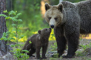 Brown Bear (Ursus arctos) mother with cub, Finland  -  Willi Rolfes/ BIA