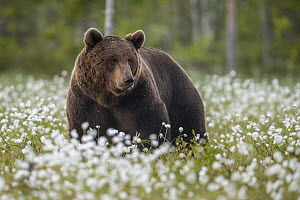 Brown Bear (Ursus arctos) male in meadow, Finland  -  Willi Rolfes/ BIA