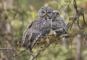 Great Gray Owl (Strix nebulosa) parent with chick, British Columbia, Canada  -  Alan Murphy/ BIA