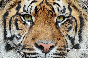 Sumatran Tiger (Panthera tigris sumatrae), native to Indonesia  -  Ondrej Prosicky/ BIA