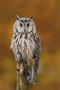 Long-eared Owl (Asio otus) in autumn with mouse prey, Norway  -  Ondrej Prosicky/ BIA