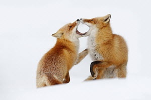 Red Fox (Vulpes vulpes) pair playing in snow, Germany  -  Ondrej Prosicky/ BIA