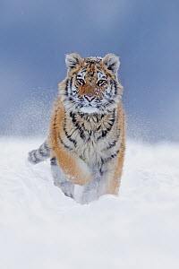 Siberian Tiger (Panthera tigris altaica) juvenile running through snow, native to Russia  -  Ondrej Prosicky/ BIA