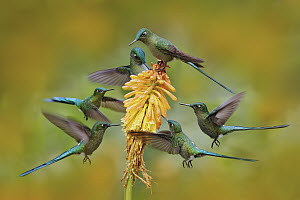Long-tailed Sylph (Aglaiocercus kingi) hummingbird flock feeding on flower nectar, Ecuador  -  Ondrej Prosicky/ BIA