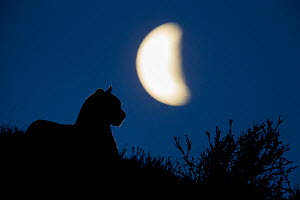 Mountain Lion (Puma concolor) male and moon, Torres del Paine National Park, Patagonia, Chile  -  Sebastian Kennerknecht
