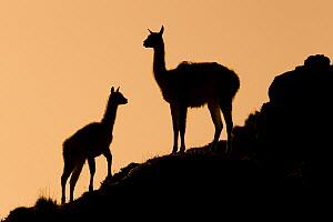 Guanaco (Lama guanicoe) mother and cria at sunset, Torres del Paine National Park, Patagonia, Chile  -  Sebastian Kennerknecht