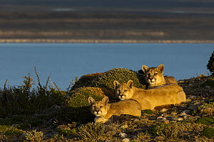 Mountain Lion (Puma concolor) six month old kittens, Torres del Paine National Park, Patagonia, Chile  -  Sebastian Kennerknecht