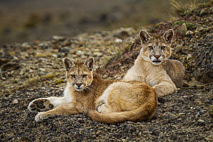 Mountain Lion (Puma concolor) six month old female and male kitten, Torres del Paine National Park, Patagonia, Chile  -  Sebastian Kennerknecht