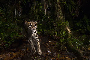 Ocelot (Leopardus pardalis) at night, Mamoni Valley, Panama  -  Sebastian Kennerknecht