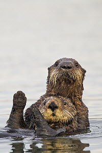 Sea Otter (Enhydra lutris) pup hugging mother, Elkhorn Slough, Monterey Bay, California  -  Sebastian Kennerknecht
