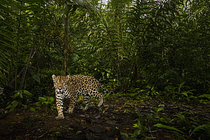 Jaguar (Panthera onca) male in tropical rainforest, Mamoni Valley, Panama  -  Sebastian Kennerknecht