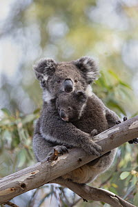 Koala (Phascolarctos cinereus) mother and joey, Kangaroo Island, Australia  -  Suzi Eszterhas