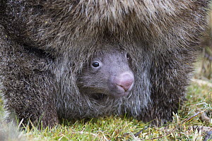 Common Wombat (Vombatus ursinus) joey in mother's pouch, Cradle Mountain-Lake Saint Clair National Park, Tasmania, Australia  -  Suzi Eszterhas