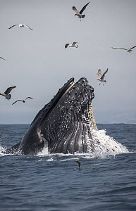 Humpback Whale (Megaptera novaeangliae) gulp feeding on Northern Anchovy (Engraulis mordax), Monterey Bay, California  -  Chase Dekker