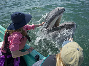 Gray Whale (Eschrichtius robustus) calf being pet by tourist, San Ignacio Lagoon, Baja California, Mexico  -  Chase Dekker