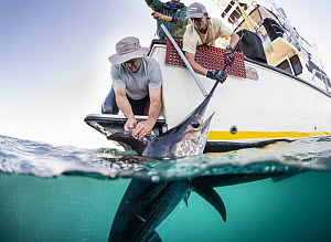 Swordfish (Xiphias gladius) being tagged by biologists, Monterey, California  -  Ralph Pace