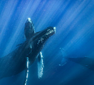 Humpback Whale (Megaptera novaeangliae) mother and calf with escort, Maui, Hawaii  -  Ralph Pace
