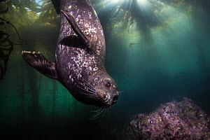 Harbor Seal (Phoca vitulina) in kelp forest, Monterey, California  -  Ralph Pace