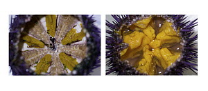 Purple Sea Urchin (Strongylocentrotus purpuratus) pair, on left it shows an urchin from the wild, on the right it has been fed urchinomics, Mendocino, California  -  Ralph Pace
