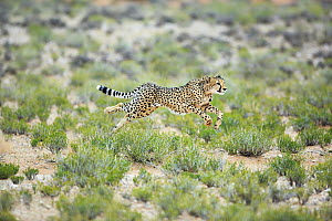 Cheetah (Acinonyx jubatus) running, South Africa  -  Richard Du Toit
