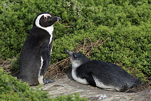 Black-footed Penguin (Spheniscus demersus) parent with chick, Betty's Bay, Stony Point Nature Reserve, South Africa  -  Juergen & Christine Sohns