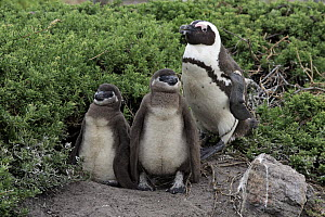 Black-footed Penguin (Spheniscus demersus) parent with chicks, Betty's Bay, Stony Point Nature Reserve, South Africa  -  Juergen & Christine Sohns