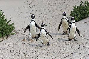 Black-footed Penguin (Spheniscus demersus) group on beach, Boulders Beach, Simon's Town, South Africa  -  Juergen & Christine Sohns