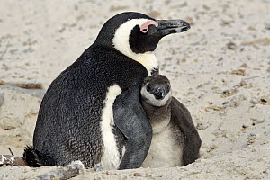 Black-footed Penguin (Spheniscus demersus) parent with chick, Boulders Beach, Simon's Town, South Africa  -  Juergen & Christine Sohns