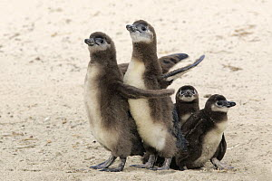 Black-footed Penguin (Spheniscus demersus) chicks of different ages, Boulders Beach, Simon's Town, South Africa  -  Juergen & Christine Sohns