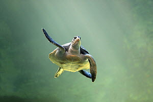 Green Sea Turtle (Chelonia mydas), Cape Town, South Africa  -  Juergen & Christine Sohns