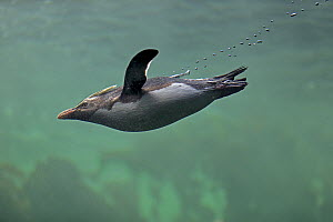 Rockhopper Penguin (Eudyptes chrysocome) swimming, Cape Town, South Africa  -  Juergen & Christine Sohns