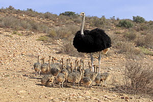 Ostrich (Struthio camelus) father with chicks, Oudtshoorn, Western Cape, South Africa  -  Juergen & Christine Sohns