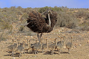 Ostrich (Struthio camelus) mother with chicks, Oudtshoorn, Western Cape, South Africa  -  Juergen & Christine Sohns