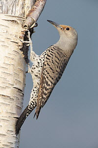 Northern Flicker (Colaptes auratus) female at nest cavity, Troy, Montana  -  Donald M. Jones