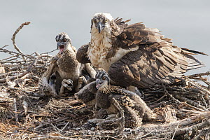 Osprey (Pandion haliaetus) parent and chicks at nest, Troy, Montana  -  Donald M. Jones