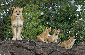 African Lion (Panthera leo) mother with cubs, Masai Mara, Kenya  -  Winfried Wisniewski